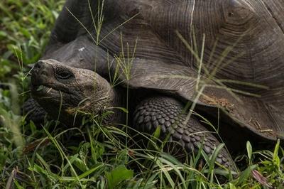 希少な新種ゾウガメの成長見守る、ガラパゴス諸島