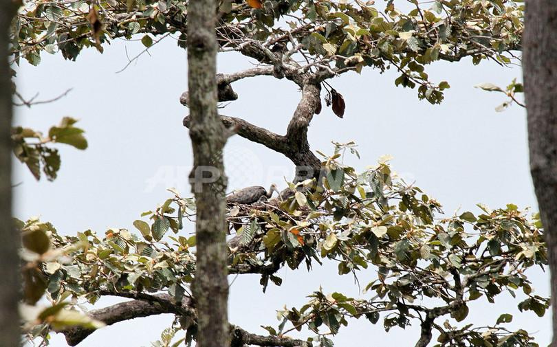 絶滅危機のトキ、カンボジアで新たな生息地を確認 WWF